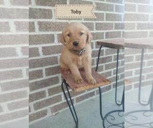Golden Retriever Puppy for sale in BLMGTN, IN, USA