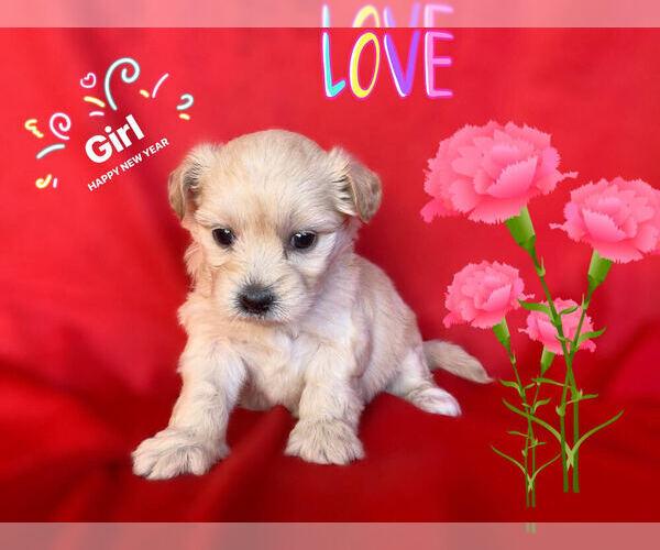 Medium Photo #3 Maltese-Maltipoo Mix Puppy For Sale in SAN FRANCISCO, CA, USA