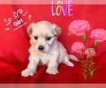 Small Photo #3 Maltese-Maltipoo Mix Puppy For Sale in SAN FRANCISCO, CA, USA