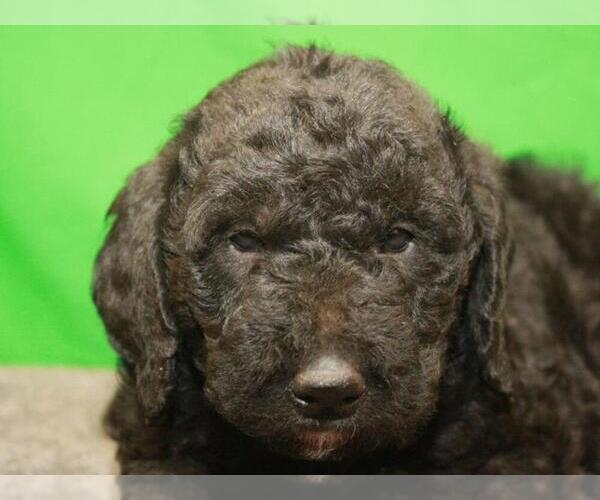 Medium Photo #4 Labradoodle Puppy For Sale in SHAWNEE, OK, USA