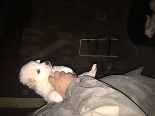Great Pyrenees Puppy for sale in FOREST, OH, USA