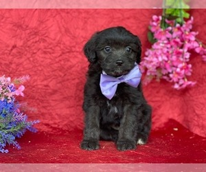 F2 Aussiedoodle Dog for Adoption in LANCASTER, Pennsylvania USA