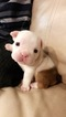 English Bulldog Puppy For Sale in NEW ORLEANS, LA, USA