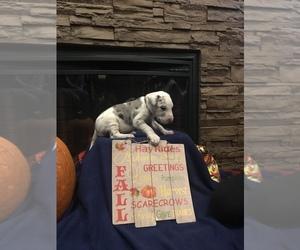 Great Dane Puppy for sale in MORRISTON, FL, USA