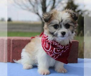 Papitese Dog for Adoption in ORO VALLEY, Arizona USA