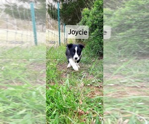 Border Collie Puppy for sale in CLARKRANGE, TN, USA