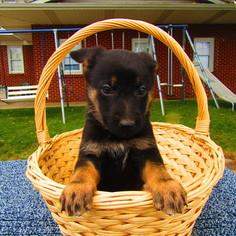 German Shepherd Dog Puppy for sale in GAR CREEK, IN, USA