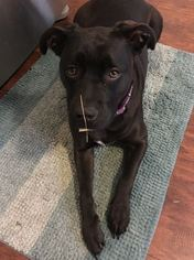 American Pit Bull Terrier-Labrador Retriever Mix Dogs for adoption in TROY, MI, USA