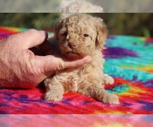 Poodle (Miniature) Puppy for sale in UNION CITY, TN, USA