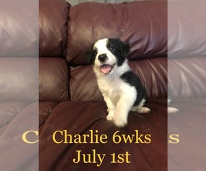 Border Collie Puppy for sale in FORT MYERS, FL, USA