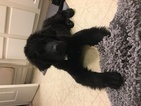 Newfoundland Puppy For Sale in KOKOMO, IN, USA