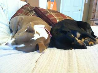 May ~ Southern Belle! - Black and Tan Coonhound / Doberman Pinscher / Mixed (short coat) Dog For Adoption