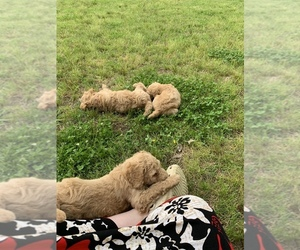 Poodle (Standard) Puppy for sale in CLARKSDALE, MS, USA