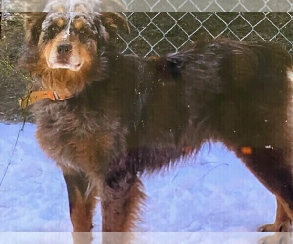 Medium Photo #1 Australian Shepherd Puppy For Sale in HORN LAKE, MS, USA
