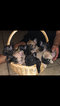 French Bulldog Puppy For Sale in PALMDALE, CA, USA