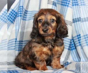 Dachshund Puppy for sale in MORGANTOWN, PA, USA