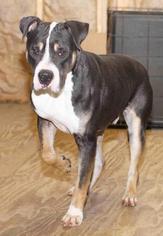 NickLaus - Rottweiler Dog For Adoption