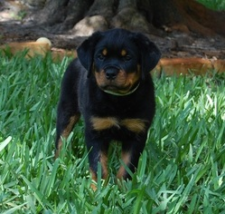 Rottweiler Puppy For Sale in TAMPA, FL, USA