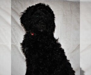Goldendoodle Puppy for sale in BOON, MI, USA