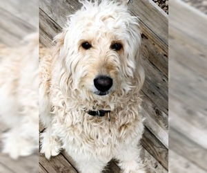 Mother of the Goldendoodle puppies born on 06/15/2019