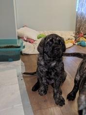 Mastiff Puppy for Sale in SOUTH HAVEN, Michigan USA