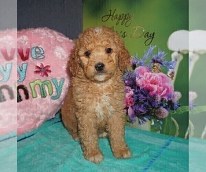 Goldendoodle-Poodle (Miniature) Mix Puppy for sale in FORT PLAIN, NY, USA