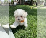 Small Photo #1 Maltipoo Puppy For Sale in LOUISVILLE, KY, USA