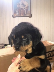 Rottweiler Puppy For Sale in BOWIE, MD, USA