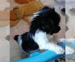 Small #2 Poodle (Standard)-Yorkshire Terrier Mix