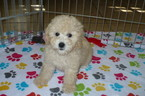 Poodle (Toy)-Shih Tzu Mix Puppy For Sale in TUCSON, AZ
