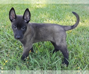 Belgian Malinois Puppy for Sale in CORNING, California USA