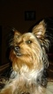 Yorkshire Terrier Puppy For Sale in FREDERICK, MD