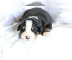 Small #4 Bernese Mountain Dog