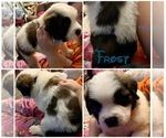 Puppy 10 Saint Bernard