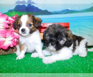 Cava-Tzu Puppy for Sale in HAMMOND, Indiana USA