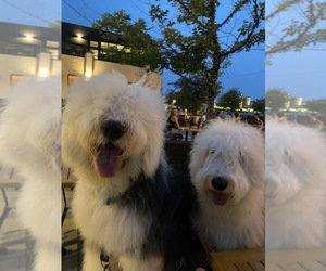 Father of the Old English Sheepdog puppies born on 07/03/2021