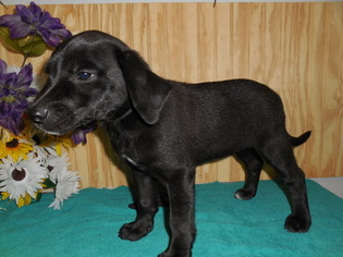 Lab Puppies For Sale In Chicago