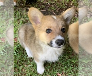 Pembroke Welsh Corgi Puppy for sale in SANTA MONICA, CA, USA