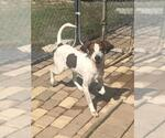 Small #435 English Coonhound Mix