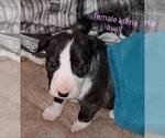 Puppy 2 Bull Terrier