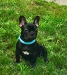 French Bulldog Puppy For Sale in CRANSTON, RI,