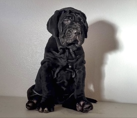 Neapolitan Mastiff Puppy For Sale in LOS ANGELES, CA