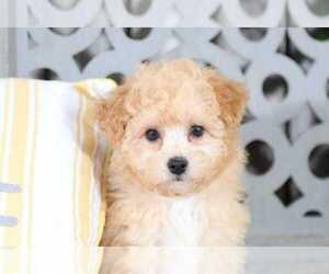 Maltipoo Dog for Adoption in MOUNT VERNON, Ohio USA