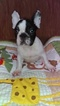 French Bulldog Puppy For Sale in EAST ELLIJAY, GA, USA
