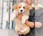 Small Photo #1 Pembroke Welsh Corgi Puppy For Sale in Ha Dong, Ha Noi, Vietnam