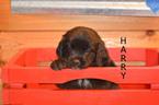 Puppy 2 Golden Mountain Dog