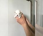 Puppy 2 Maltese