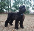 Black Russian Terrier Puppy For Sale in CLEVELAND, TN, USA