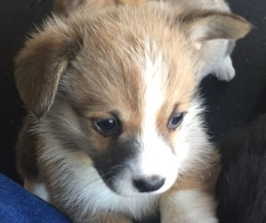 Pembroke Welsh Corgi Puppy for Sale in JURUPA VALLEY, California USA