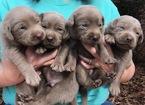 Labrador Retriever Puppy For Sale in CARROLLTON, GA, USA